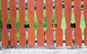 Dogs waiting behind fence